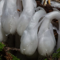 Indian Pipe slider