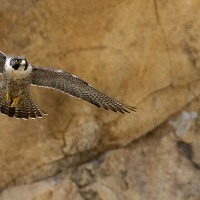 Peregrine_Falcon_in_flight