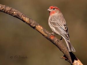 Male house finch in breeding plumage. Photo: Ed Dubois