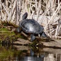 Turtle below Greenside north units