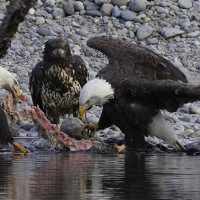 Eagles feeding with juvie watching