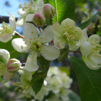 Pacific Crab Apple