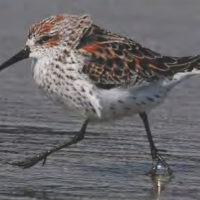 Western Sandpiper (Mike Yip)