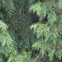 Cedar branches banner