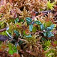 Sundew, Bog Cranberry, Labrador Tea & Sphagnum Moss banner