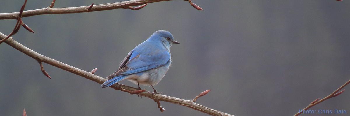 Permalink to: Squamish Birders