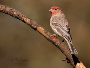 Male house finch in breeding plumage. Photo: Ed Dubois