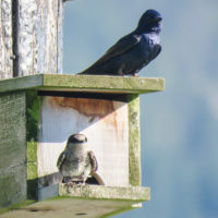 Purple Martin sub-adult and Male. Vanessa Isnardy